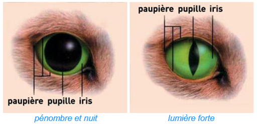 chien chat pupille iris